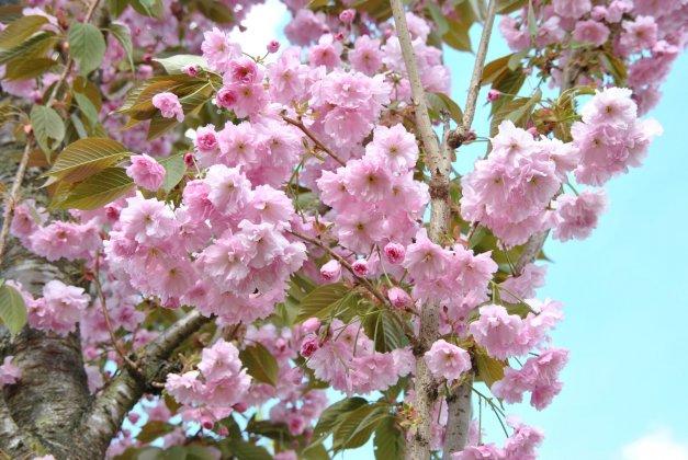 Prunus Serrulata Kanzan-1 31