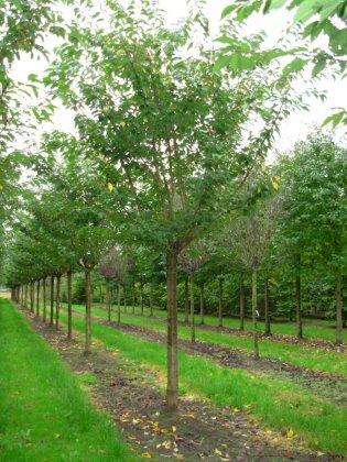 Prunus Serrulata Kanzan45-50bv