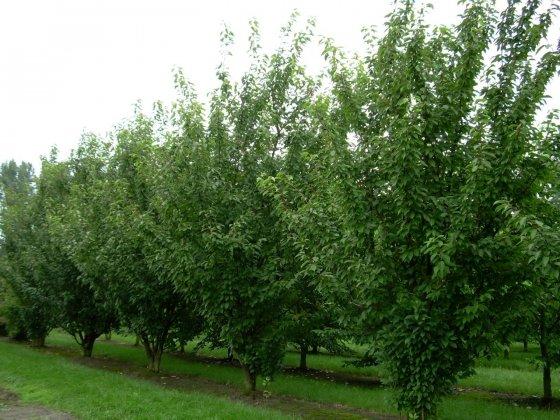 Prunus Serrulata Kanzan 1