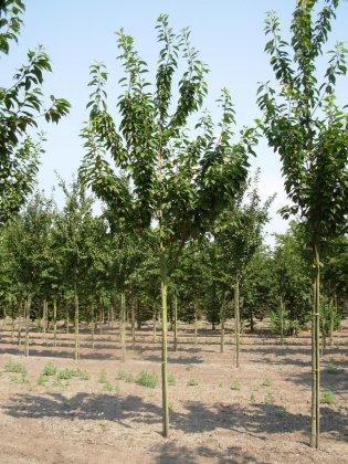 Prunus Serrulata Kanzan 2