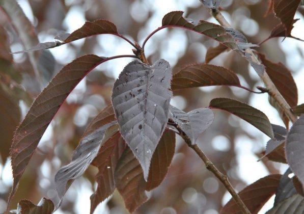 Prunus-serrulata-royal-burgundy
