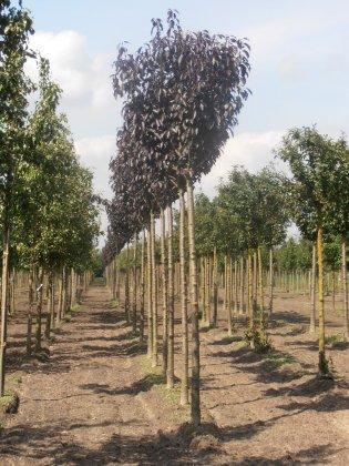 Prunus Serrulata Royal Burgundy-1