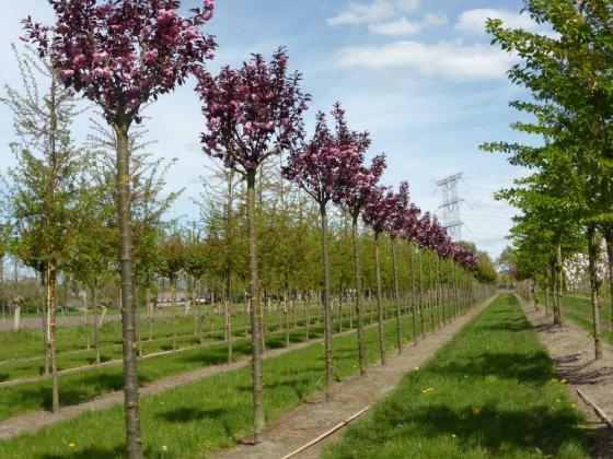 Prunus Serrulata Royal Burgundy 20-25 Sth 240 Rey April2015 1