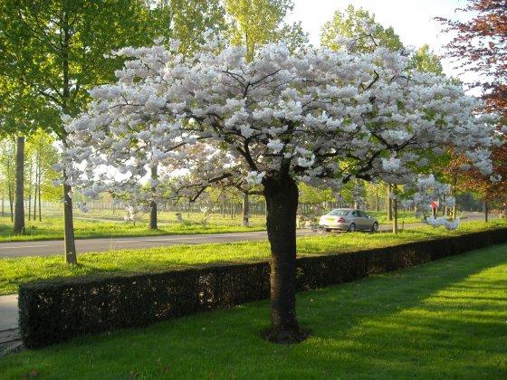 Prunus-serrulata-shogetsu