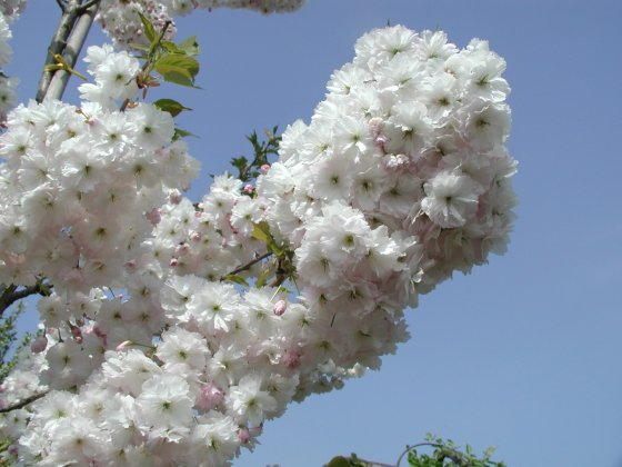 Prunus Serrulata Shimidsu Bloem 3