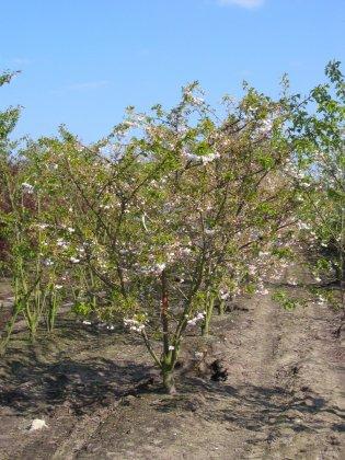 Prunus Serrulata Shimidsu H250-300