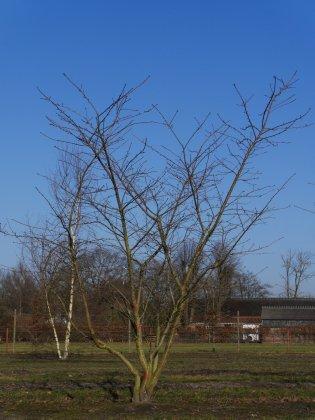 Prunus Serrulata Shirotae H350-400 Vrw