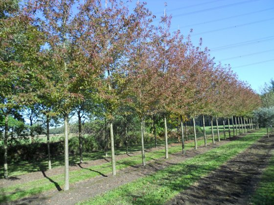 Prunus Serrulata Sunset Boulevard-1