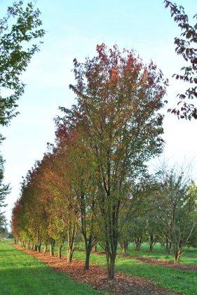 Prunus Serrulata Sunset Boulevard