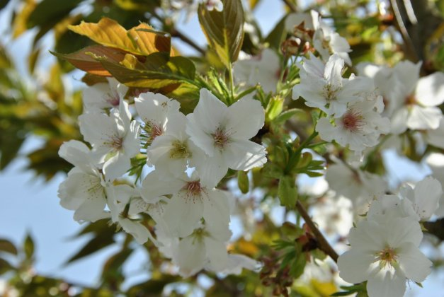 Prunus Serrulata Taihaku 3