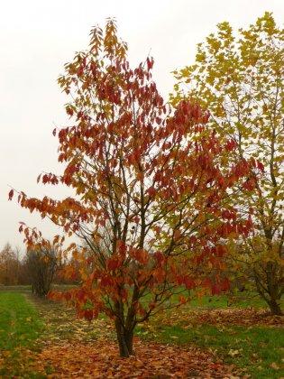 Prunus Serrulata Taihaku 4