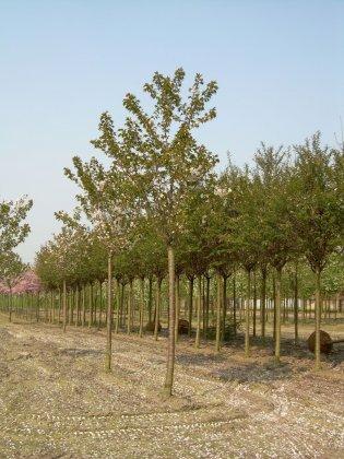 Prunus Serrulata Taihaku 5