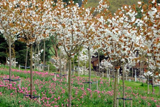 Prunus Taihaku
