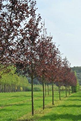 Prunus Virginiana Canada Red-1