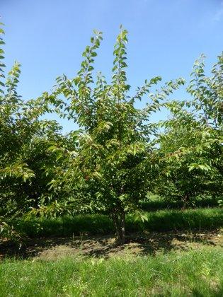 Prunus Yedoensis 1-1