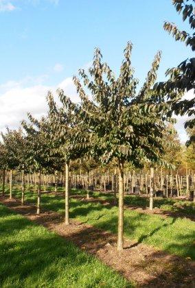 Prunus Yedoensis 3