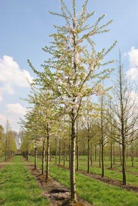 Prunus Yedoensis 4