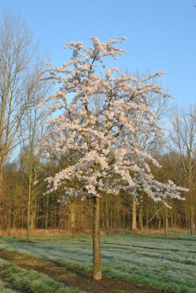 Prunus Yedoensis 5