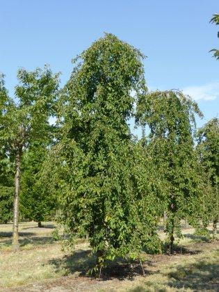Prunus Snow Fountains 3