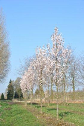 Prunus-spire