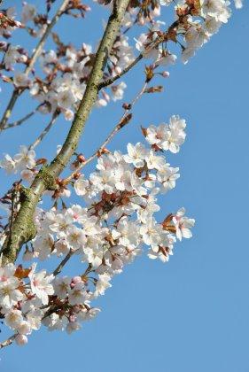 Prunus Spire 1