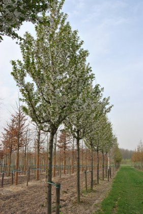 Prunus Umineko 1