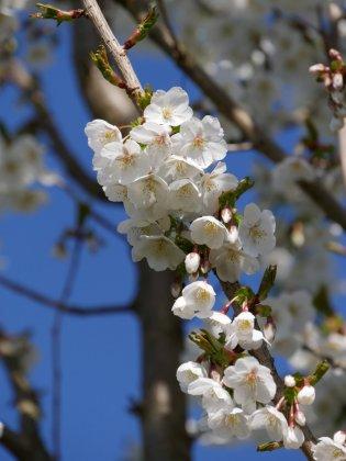 Prunus Umineko 2