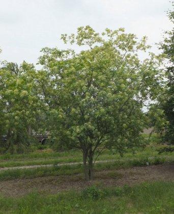 Ptelea Trifoliata 1-1