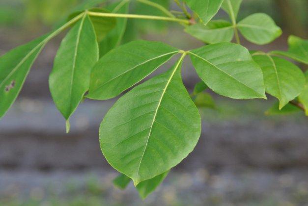 Ptelea Trifoliata 1