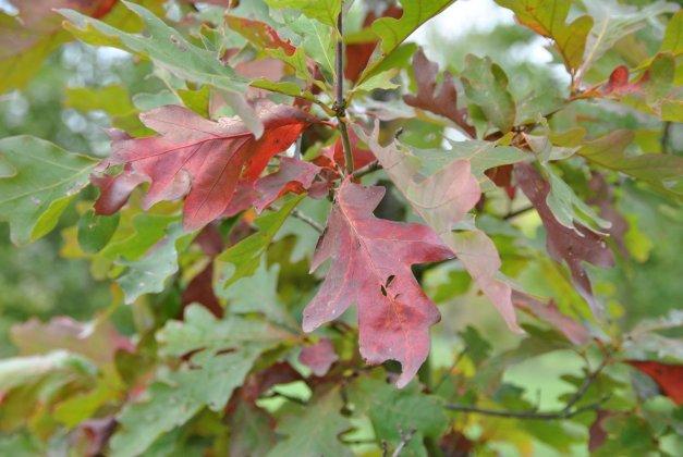 Quercus Alba 3