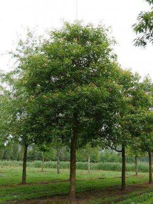 Quercus Bicolor 1