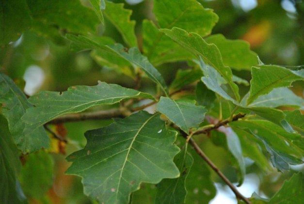 Quercus Bicolor 3