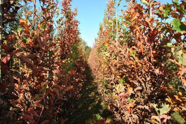 Quercus-bimundorum-crimson-spire-crimschmidt