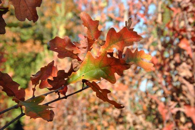 Quercus Bimundorum Crimson Spire-2