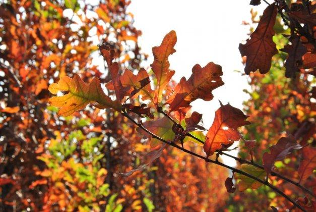 Quercus Bimundorum Crimson Spire 5