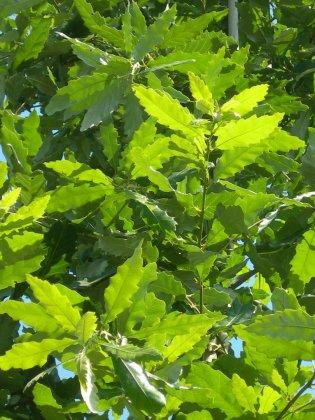 Quercus Castaneifolia Green Sipre