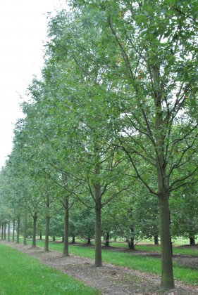 Quercus Castaneifolia Green Spire 3