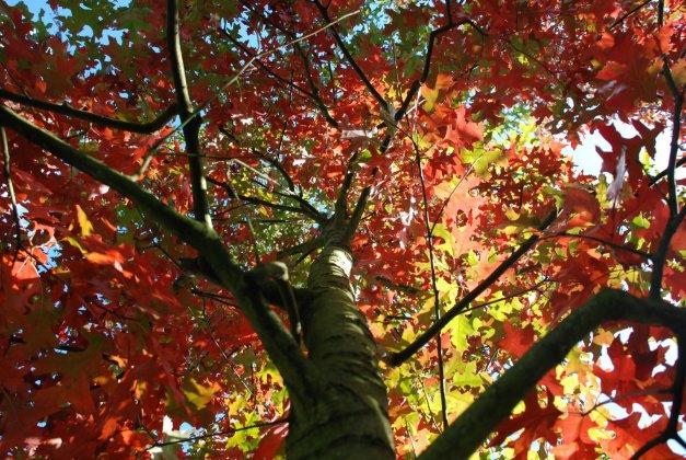 Quercus Coccinea Splendens-1