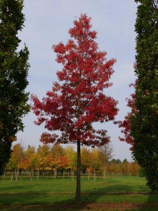 Quercus Coccinea Splendens 1-3
