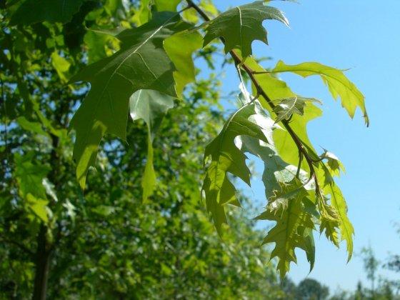 Quercus Coccinea Splendens 1