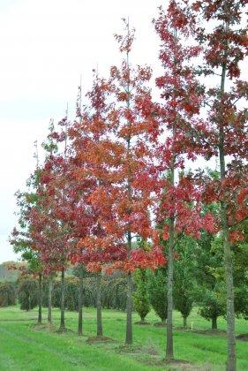 Quercus Coccinea Splendens 2