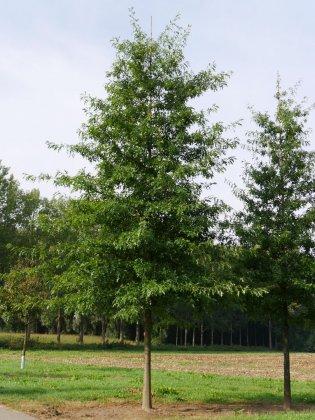 Quercus Coccinea Splendens 3