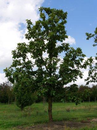 Quercus-dentata-carl-ferris-miller