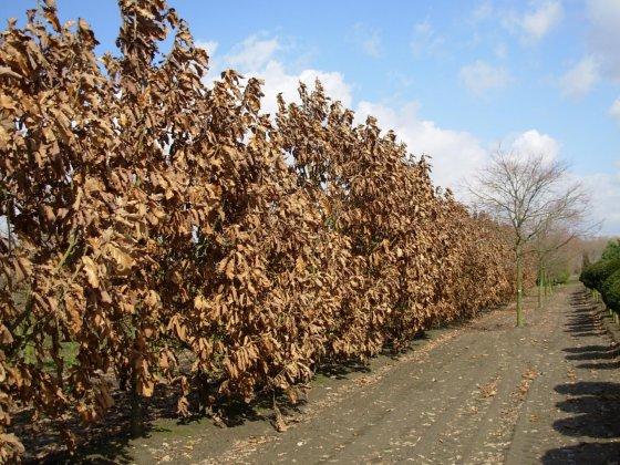 Quercus Dentata C F 3