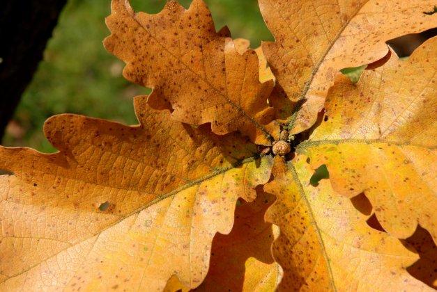 Quercus Dentata Carl Ferris Miller Dsc