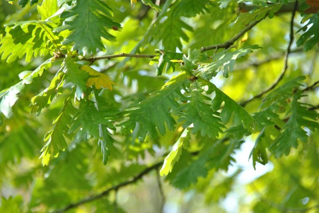 Quercus Frainetto-1