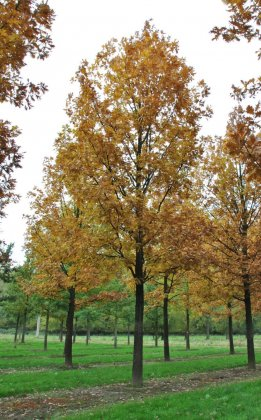 Quercus Frainetto 1-1