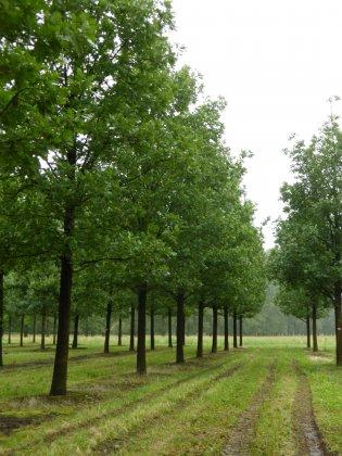 Quercus Frainetto 2-1