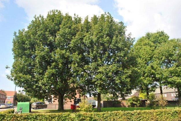 Quercus Frainetto 2