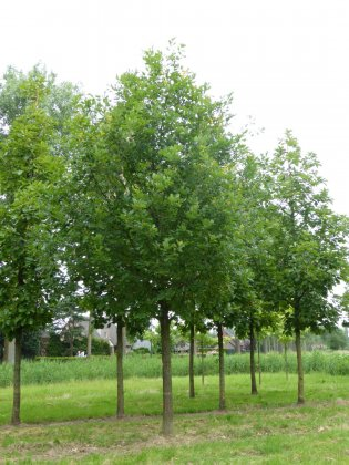 Quercus-hickelii